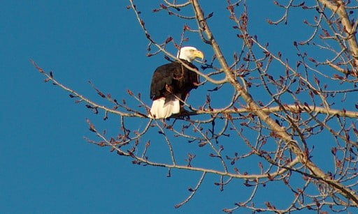 bald eagle seen in the Chiloquin area
