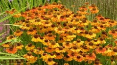 sneeze weed in a Chiloquin garden