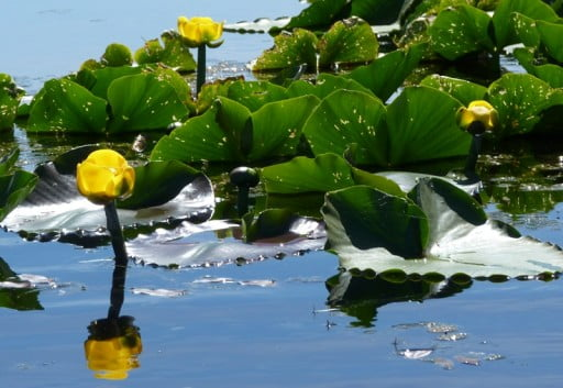 Wocus (yellow pond lily) in the Wood River canal, historical food of the Klamath Tribes
