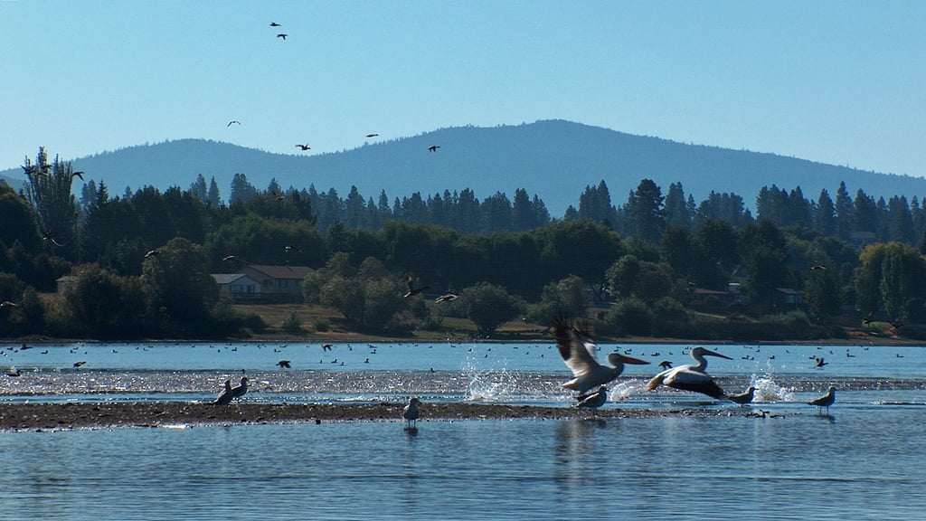 Many birds (and fish) like to cluster at the mouth of the Wood River on Agency Lake, Oregon
