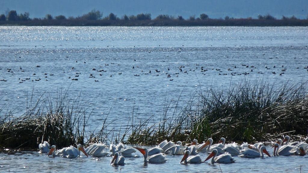 Pelicans feeding near the shore of Agency Lake, Oregon