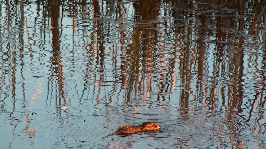 Muskrat in the marshy area of Agency Lake, Oregon