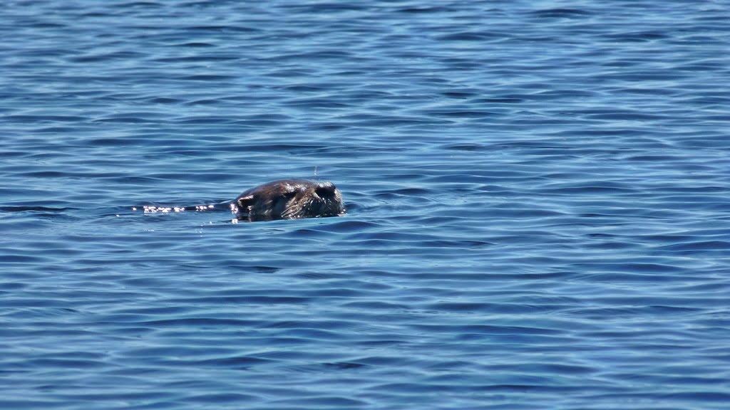 Otter swimming near Rocky Point; seen all through the Upper Klamath Lake and Agency Lake area, Oregon