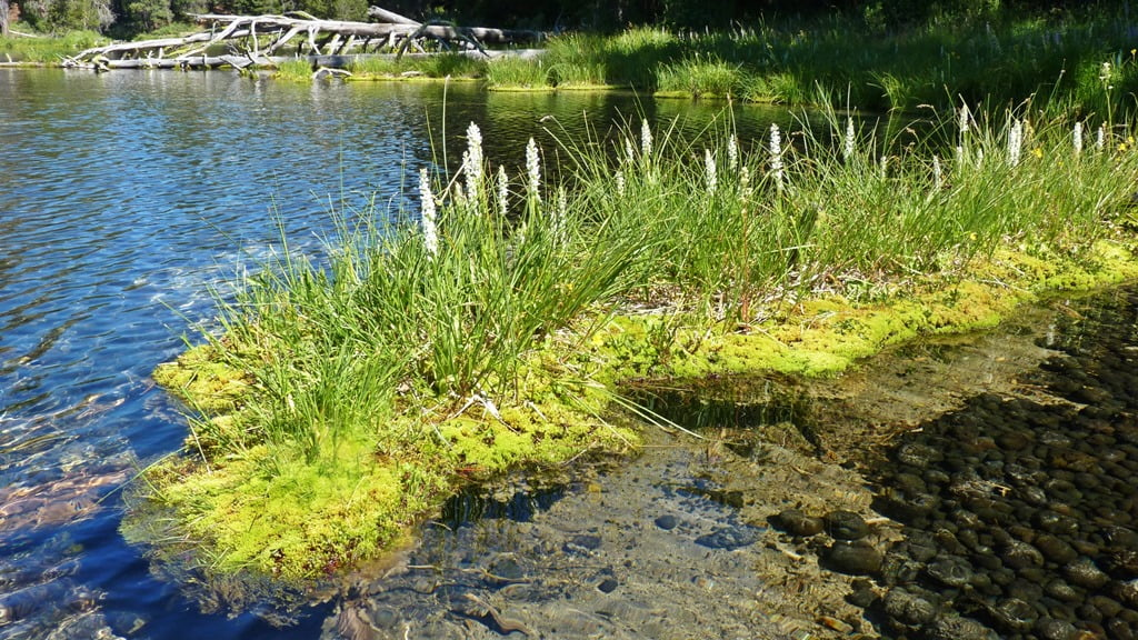 Rein orchids growing on a moss covered log in Spring Creek, Oregon