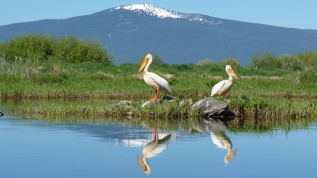 Pelicans on the Wood River near the Crooked Creek confluence, Pelican Butte behind, Oregon