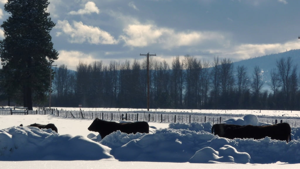 Overwintering cows in the Chiloquin area have a tough life.