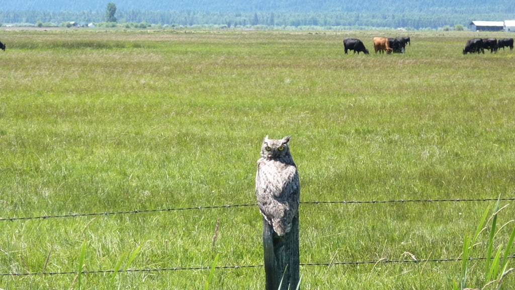 This great horned owl is out in daylight viewing all who pass down Seven Mile Rd.