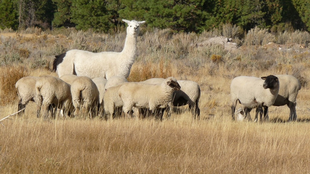 Llama guarding a small flock of sheep along Modoc Point Rd.
