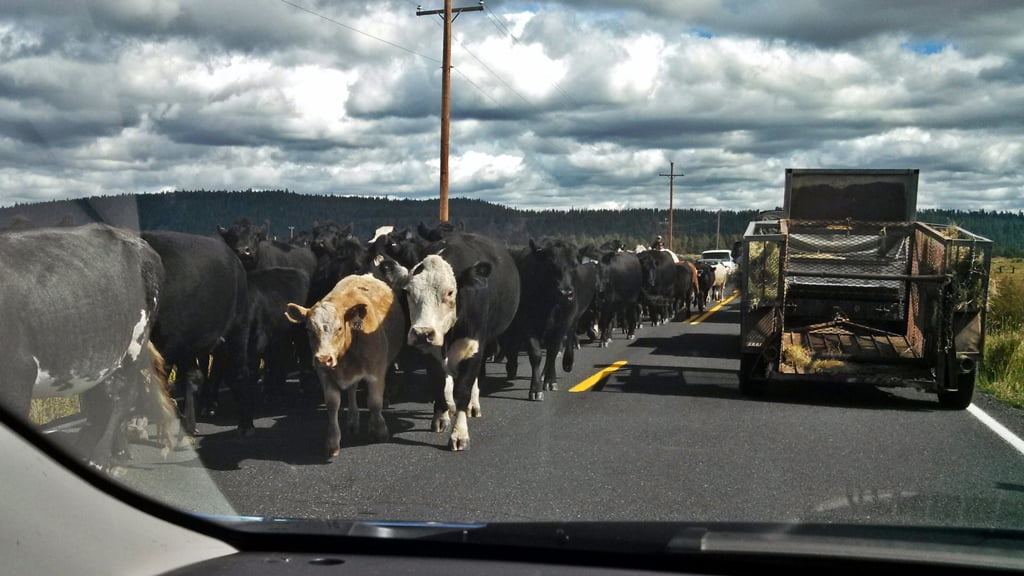 Vehicles wait for cattle to pass on Seven Mile Rd.