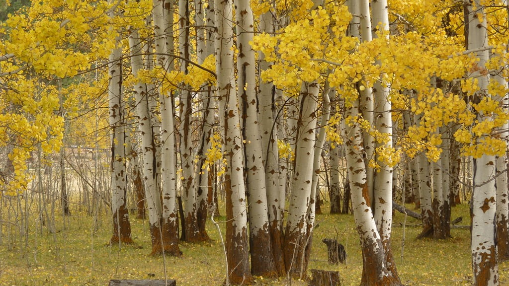 A grove of Aspen trees along Modoc Point Rd