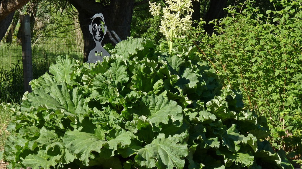 Rhubarb grows to an enormous size, but not as tall as the raspberry plants. No shortage of rhubarb pies in Chiloquin.