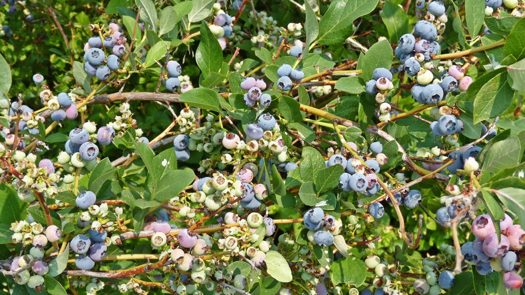 Blueberries are a little more challenging to grow in Chiloquin because of our alkaline soil, but it can be done.