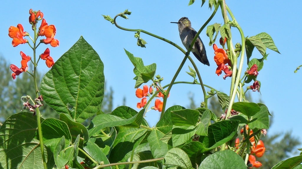 Scarlet runner bean flowers are a hummingbird favorite, and just have time to set some beans before they freeze.