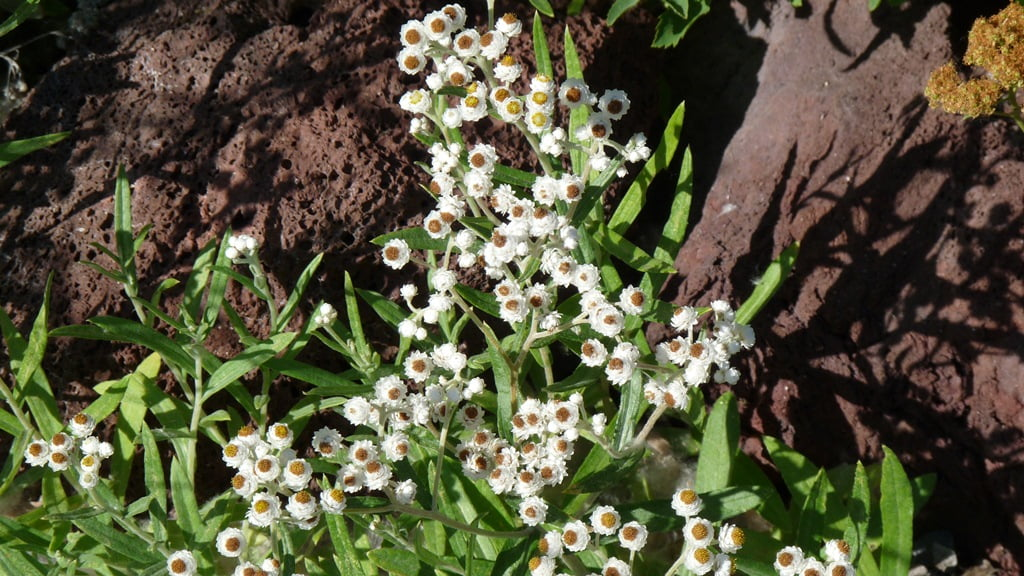 Pearly Everlastings are the perennial alpine version of everlasting flowers. They like cool summers and given plenty of water, they like Chiloquin.