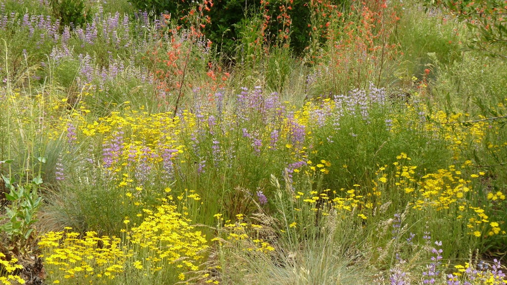 A beautiful wildflower garden of plants native to the Chiloquin area - lupine, Oregon sunshine, scarlet Gilia and fescue grasses