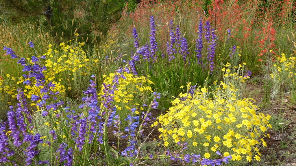 Glorious native plants in a Chiloquin wildflower garden - blue Penstemmon, Oregon sunshine, Scarlet Gilia and grasses.