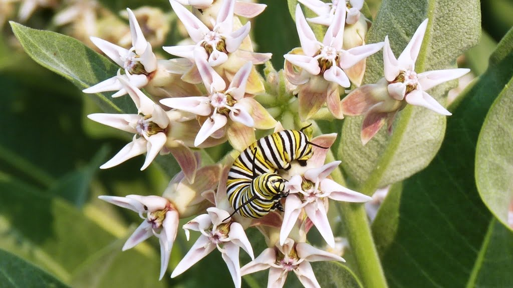 Monarch butterfly larvae on a milkweed flower. These species milkweeds have lovely big gray fuzzy leaves and the flowers are bee magnets.