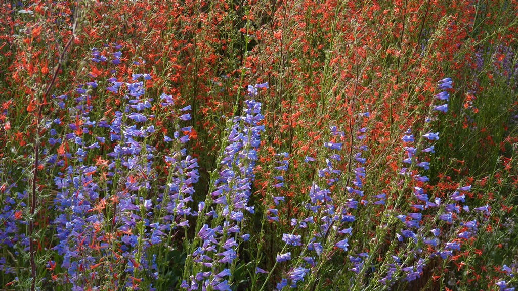 Bright blue Penstemmon and bright red Scarlet Gilia flowers are both magnets for bumble bees and hummingbirds.