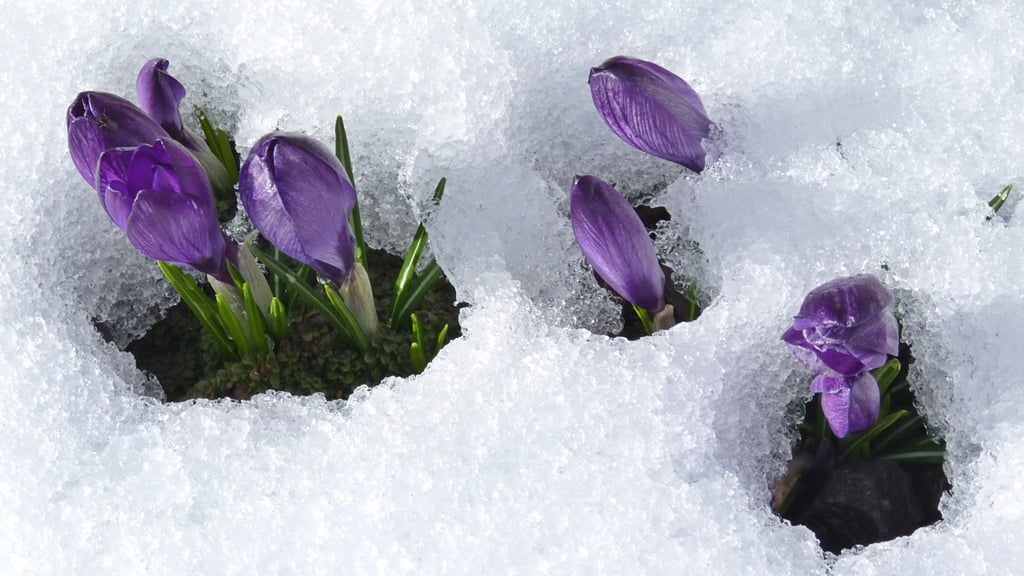 Crocus tommasinianus, an early flowering crocus, is not fazed by snow.