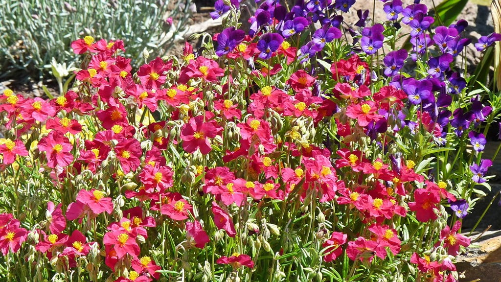A low mounding plant that loves the sun, Sun Rose is a mass of brilliant color for much of the spring and summer.