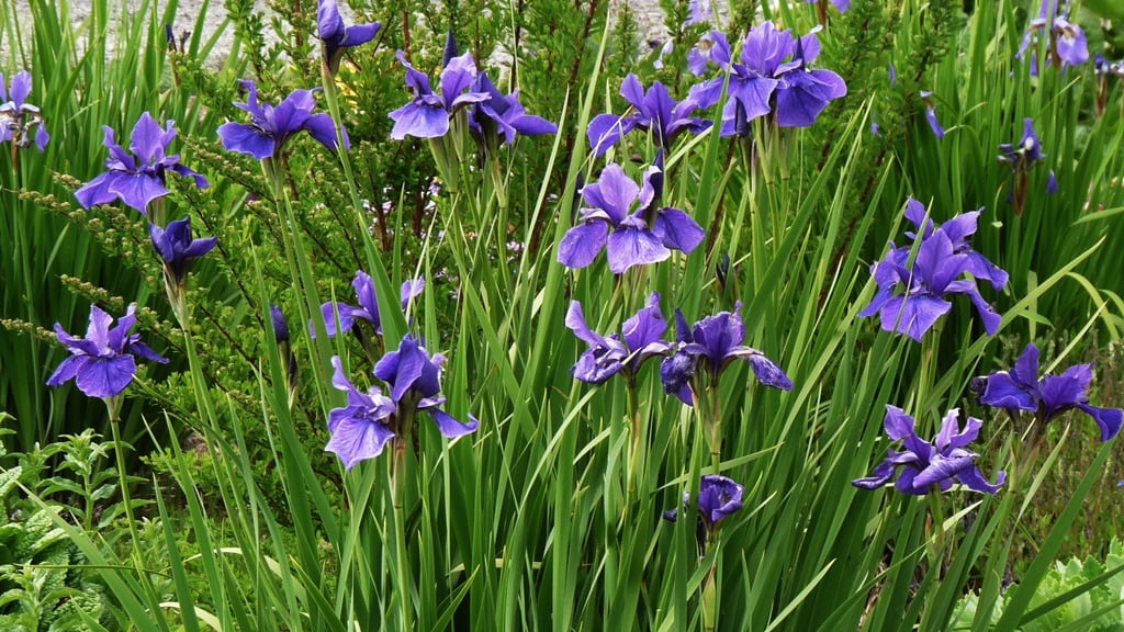 Give them sun and plenty of water and Siberian Iris will form large clumps. All iris do well in Chiloquin.
