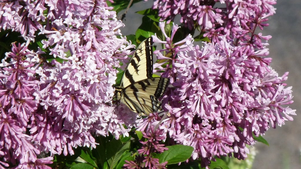 All lilacs grow well in Chiloquin but the earlier flowering varieties often lose their flower buds to late spring freezes.