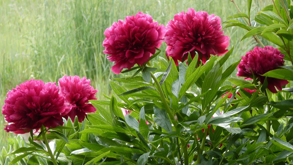 Chiloquin has the perfect climate for Peonies. Just give them some sun and water and they will reward you every year with glorious flowers.