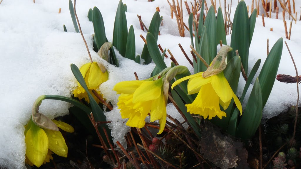 Rijnveld's Early Sensation daffodil is the earliest of the early. Daffodils are about the only bulb that the gophers will not touch in Chiloquin.