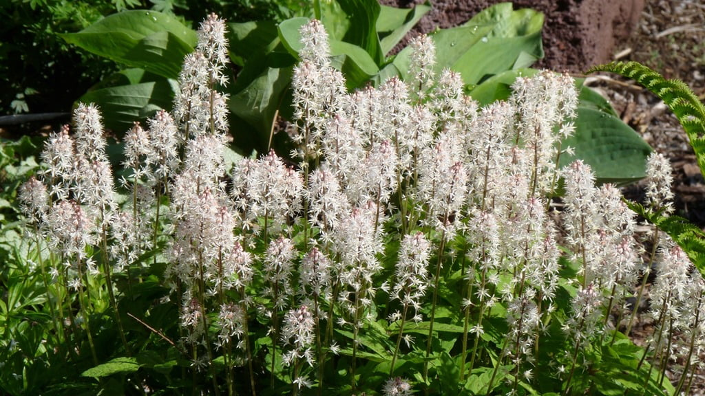 Tiarella lives up to it's name of foam flower. Just be sure to plant it in a shady, moist spot.