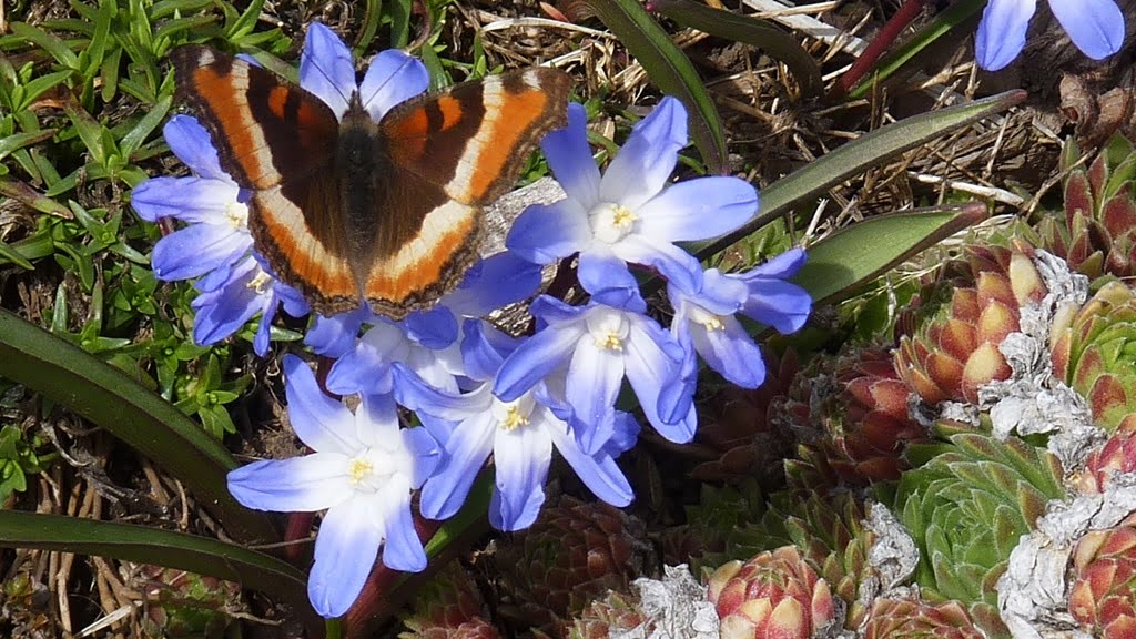 Chionodoxa is a lovely spash of blue on a gray spring day, and the butterflies like it too.