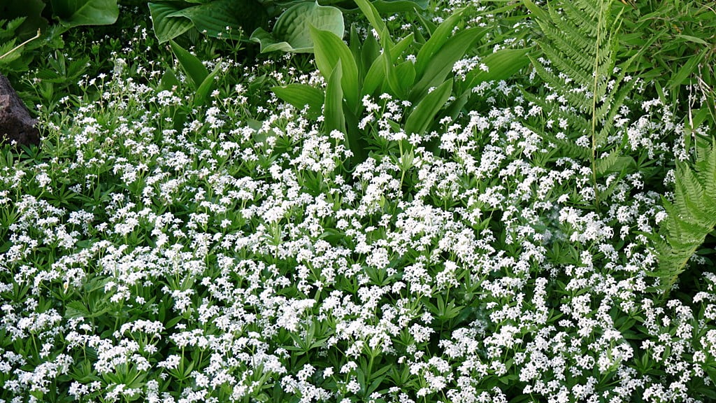 Sweet Woodruff is a carpet of white when it flowers, and is one of the best ground covers for a shady, moist spot.