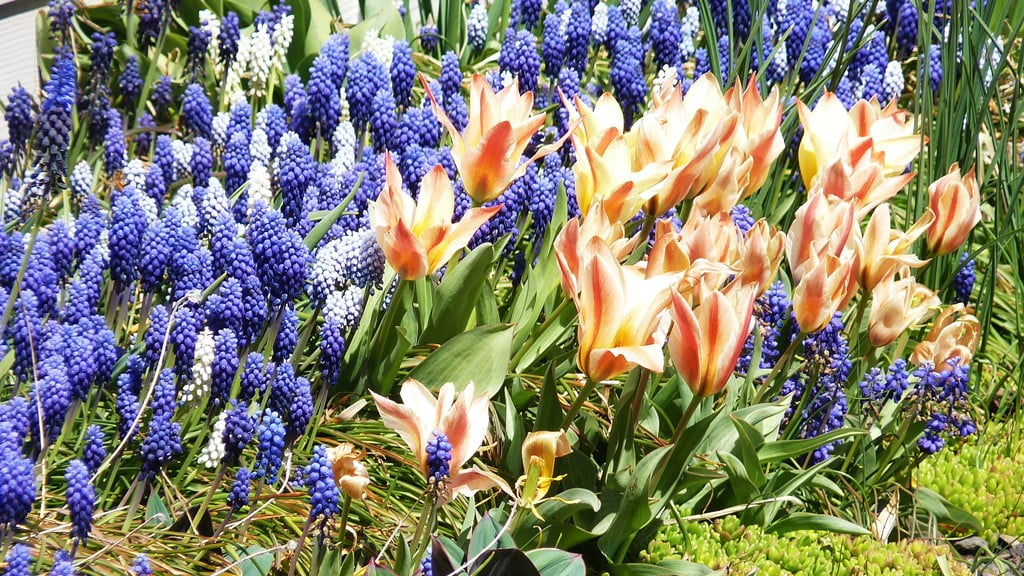 Grape Hyacinths and Tulips make a super combination, but beware - all tulips make a gopher smorgasbord.