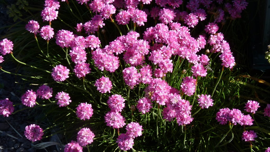 Sea Thrift forms a carpet of bright pink flowers in the spring; a great ground cover for a sunny place.