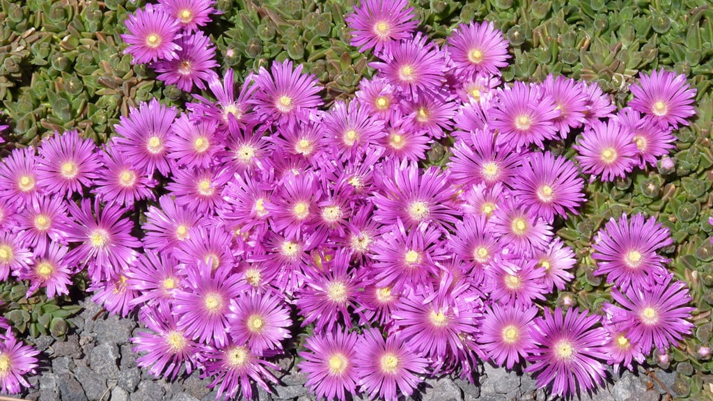 Although it looks tender, Delosperma can survive the coldest winter Chiloquin has to offer and still be blanketed with flowers in spring.