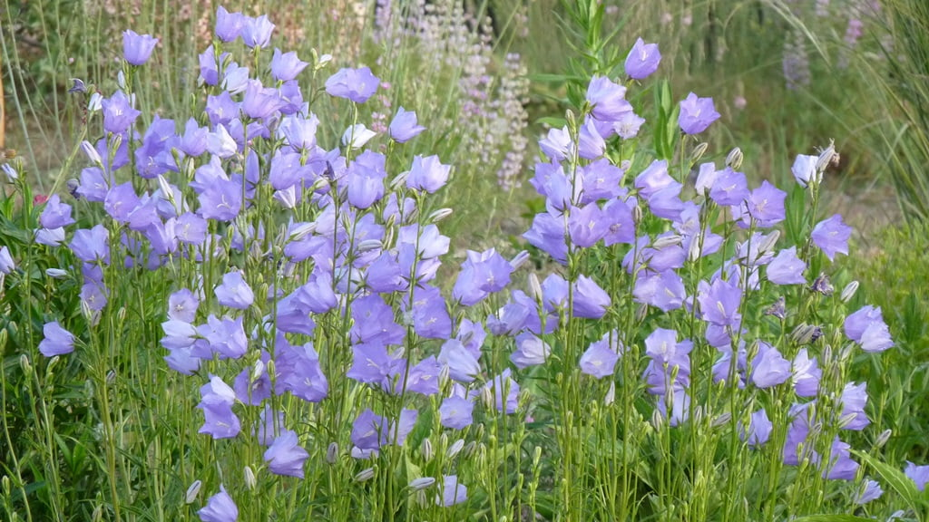 The tall spikes of Peachleaf bellflower add a lovely touch of pale blue to a cottage garden.