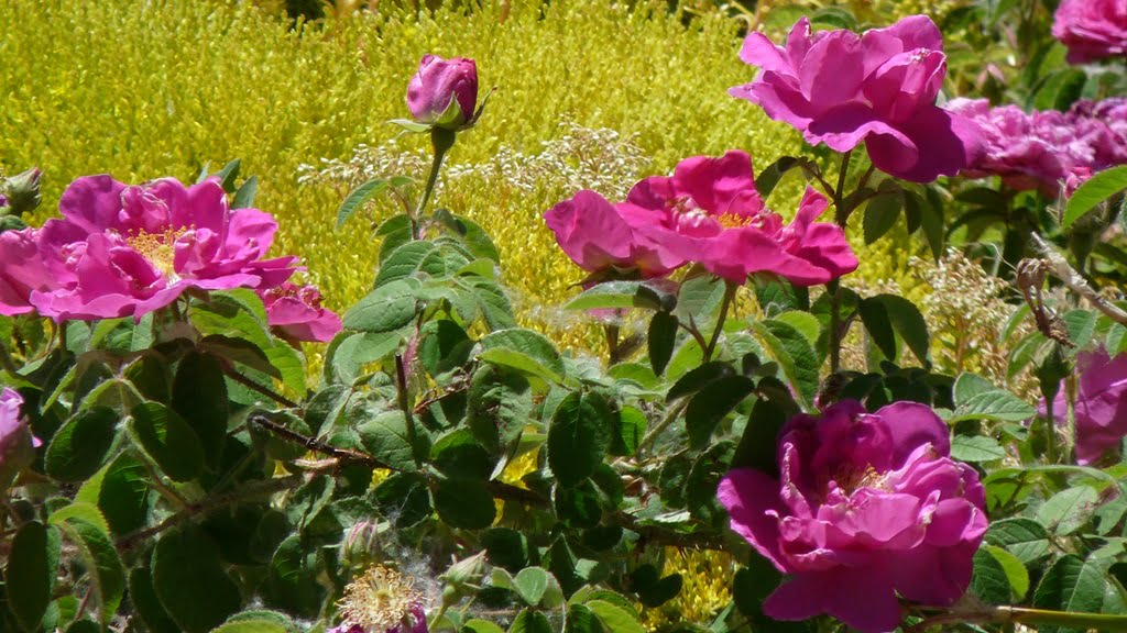 Roses are notoriously difficult to grow in Chiloquin. Rosa gallica officinalis is one of the few that thrives here.