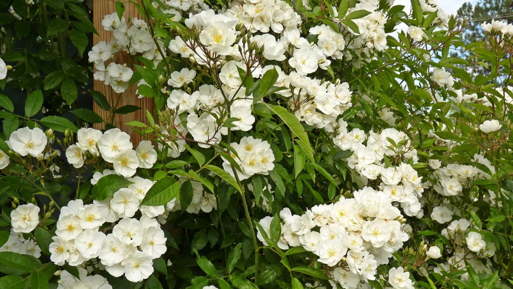 Darlow's Enigma rose grows amazingly well in Chiloquin, and scents the air with a lovely fragrance.