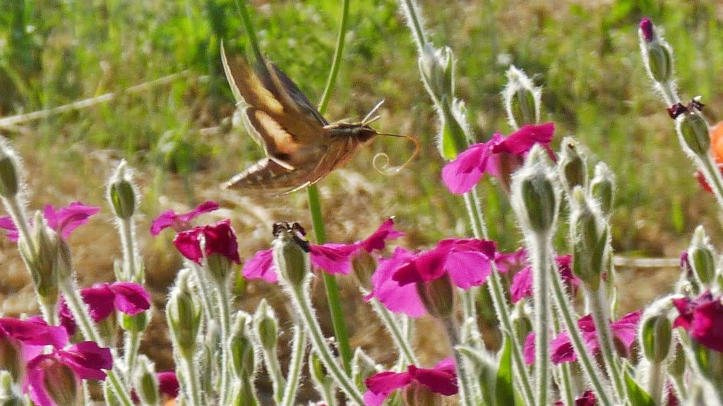 A hummingbird moth sampling the bright magenta flowers of Rose Campion. Only an annual but reseeds readily.