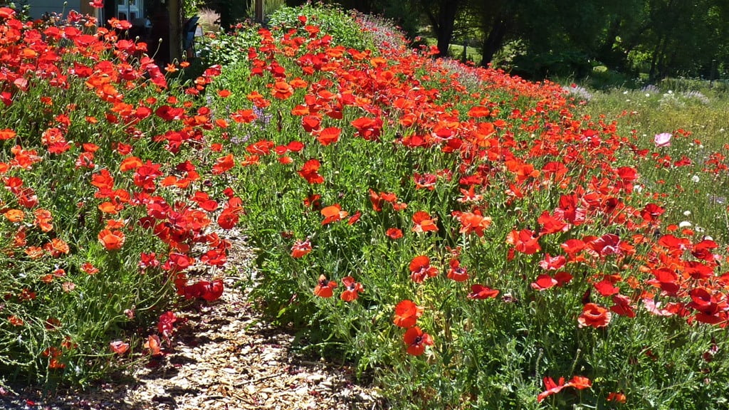 Red Shirley poppies, also known as Flanders poppies, make a spectacular display for weeks and draw in every honeybee for miles.
