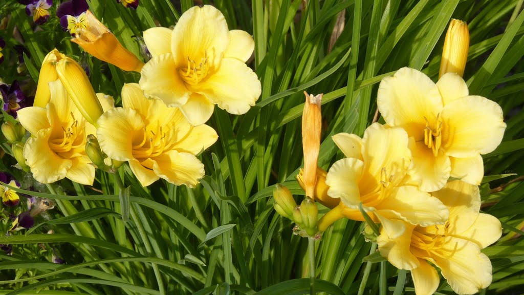 Given enough water, daylilies thrive in Chiloquin, including this lovely Stella de Oro.
