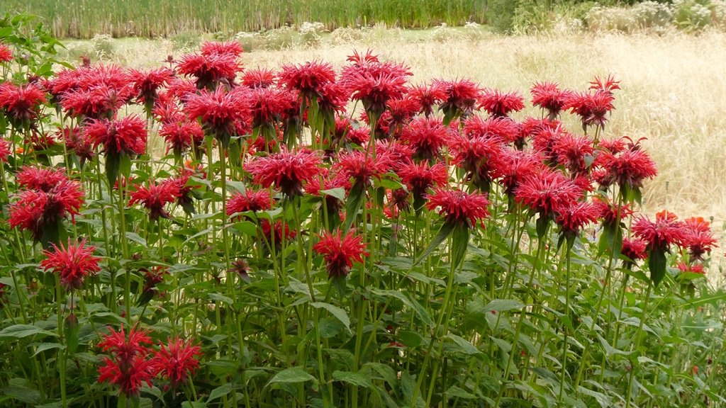 Hummingbirds fight all day over these lovely red Monarda flowers, growing in a sunny, damp spot in the garden.
