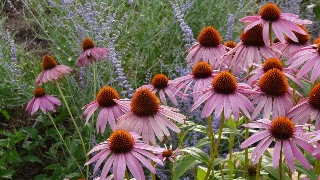Bumblebees love these purple cone flowers, that flower towards the end of summer.