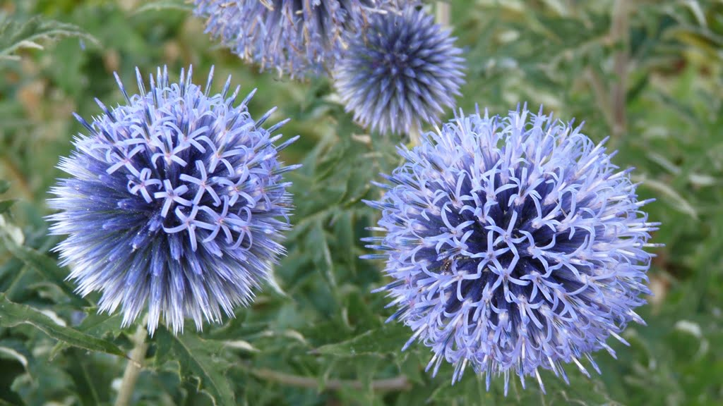 Lovely blue globes on very prickly plants, these flowers are visited by all sorts of insects.