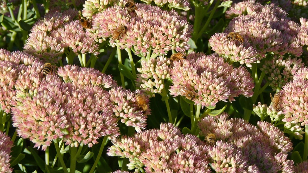 Autumn Joy, a tall sedum, is loved by honeybees, and after flowering will still add interest to the garden all winter.
