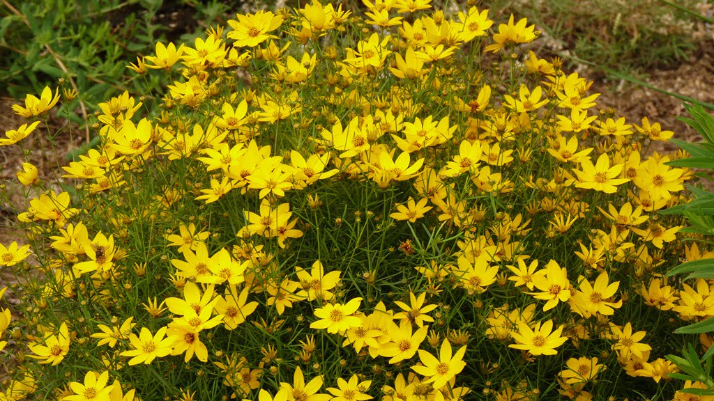 The clumps of Coreopsis Moonbeam grow ever larger and are covered with flowers in late summer. The clumps are very easy to divide.