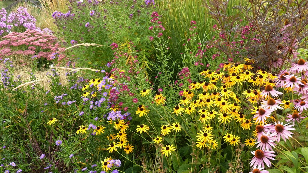 In the fall garden; asters, cone flowers, tall sedum, and black-eyed susans