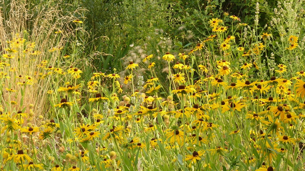 Black-eyed Susans - give them their own spot to fill and they will turn it into a golden wonderland each fall!