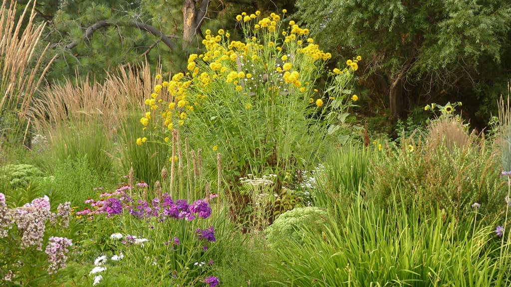 Tall phlox, Karl Foerster feather reed grass and the tall Golden Glow Rudbeckia add color to this late fall garden in Chiloquin.