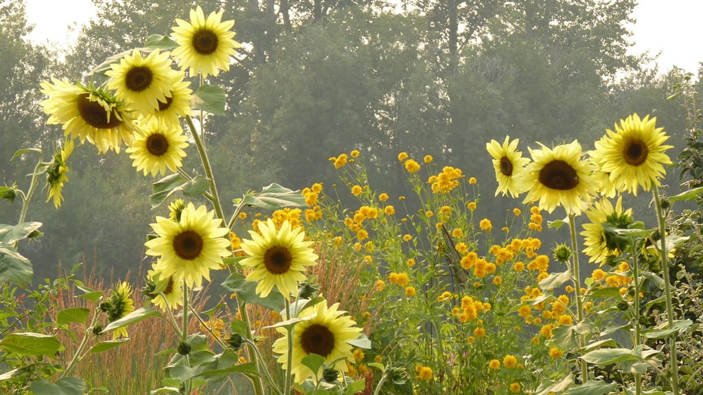 The smoke from late summer wildfires provides a foggy backdrop for these Lemon Queen sunflowers and Golden Glow Rudbeckias.
