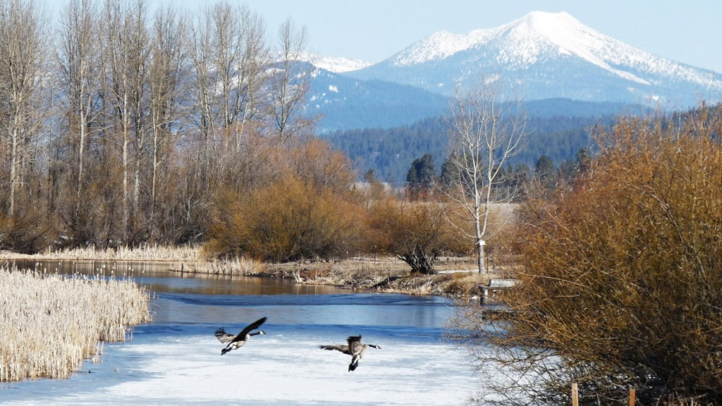Canada Geese coming in for a landing on the partially thawed Wood River Canal, on a spring day.